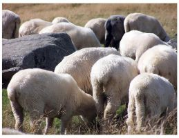 Sheep in mountains 2 by Buaha
