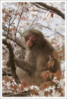 Japanese Macaque - 247 by eight-eight