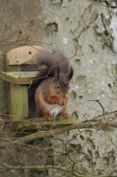 Red Squirrel by RixResources