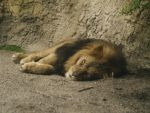 Sleeping lion by minimeany