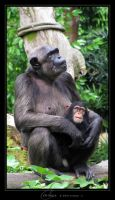 Chimp by Crooty