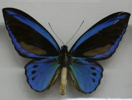Stock : Blue Butterfly by Deaths-stock