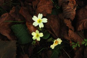 Primrose Among Autumn Leaves by EarthHart