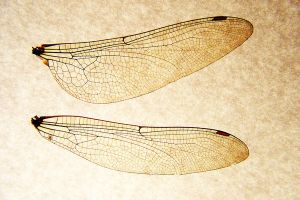 Dragonfly Fairy Wings by Jantiff-Stocks
