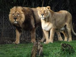 2014 - Asiatic lions 3 by Lena-Panthera