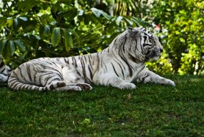 White Tiger 2 by Dustinpg