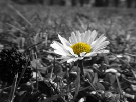 Macro Daisy Black and White by BELFASTBAP