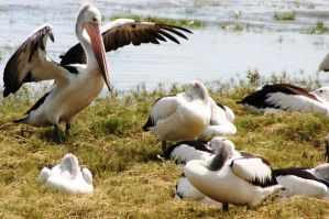 Pelican Families by LESHA