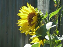 Sunflower profile by Vitacus