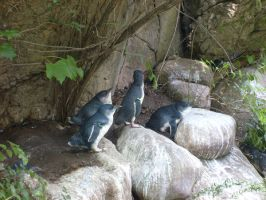 Little Blue Penguins by HappyPenguins