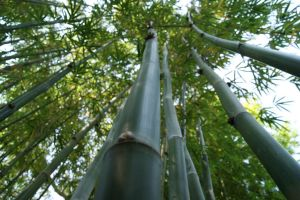 Bamboo by Bitten2ice
