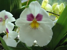 Miltonia orchid by xaotherion