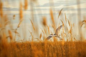 heron in the reeds by photoplace