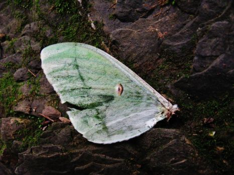 Damaged Luna Moth Wing (stock) by SpiderMilkshake