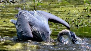 Great Blue Heron by rongiveans