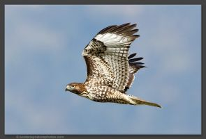 Juvenile Red-tailed Hawk by kootenayphotos