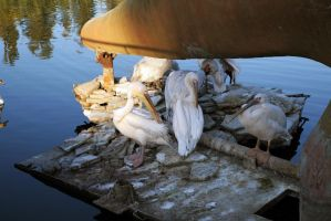 Zoo Pelicans stock #1 by croicroga