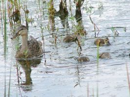 Mother duck and ducklings by gjheitz