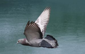 pigeon flying by T-I-N-I-C-A