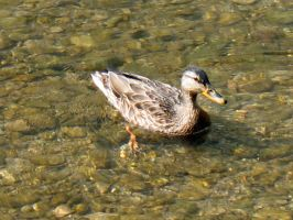 duck by Liane13