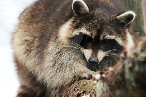 Raccoon by ZoeCoombesPhoto