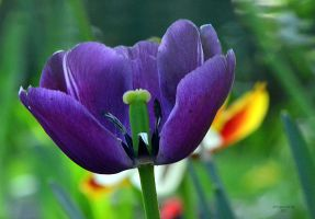purple tulip in the garden by SvitakovaEva