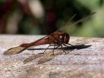 Dragonfly by Yanni2000
