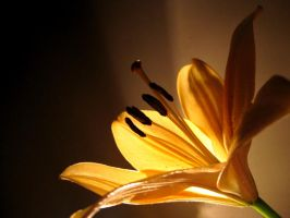 The Lone Lilly by Sigilien