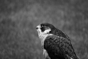 falcon by stlasidylko
