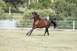 Dn black pony canter 3/4 view by Chunga-Stock