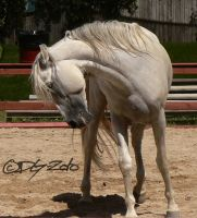 Andalusian Stallion - 54 by ElaineSeleneStock