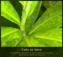 Canha de India by Tiger-Fenix
