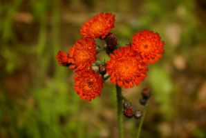 Pretty little flowers of Orange Hawkweed by steppeland