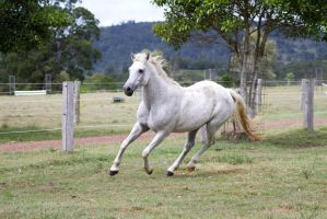 Dn white pony canter fornt side view by Chunga-Stock