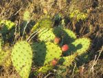 Prickly Pear 9.22.13 by imeric90277