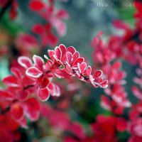 Barberry by iilva
