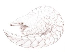 Pangolin sketch by tinkerpaws
