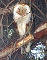 Owl in Our Pine Tree by HouseofChabrier