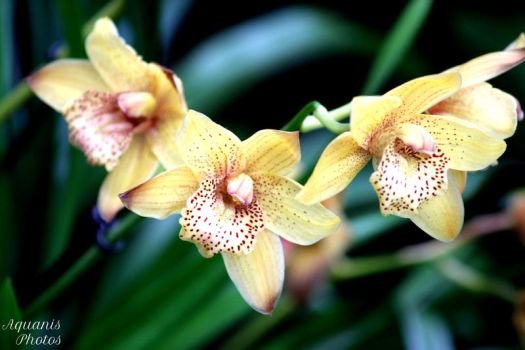 Orchid by aquanis-photos