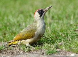 Curb Crawler - Green Woodpecker by Jamie-MacArthur