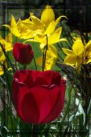 Red Wine Tulip -- Red Yellow 2 by MuseSusan