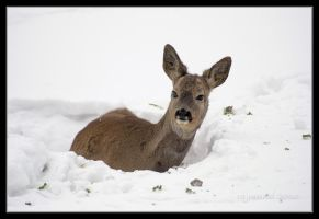 A roe deer in the snow ii by Rajmund67