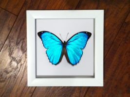 Blue Morpho Butterfly Study by TheButterflyBabe
