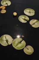 Sun And Lily Pads by Forestina-Fotos
