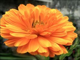 Orange Flower by Fluessiges-Feuer