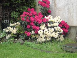 rhododendron by maryllis-stock