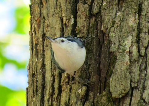 White-Breasted Nuthatch 2 by daughterdragon