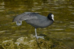 Coot Ballet by organicvision