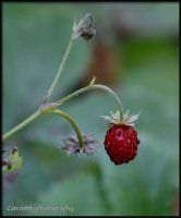 Wild strawberry by CaryAndFrankArts