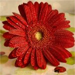 Red gerbera with drops by FrancescaDelfino